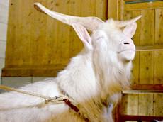 日本ザーネン 山羊